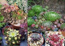 100++ Samen Sempervivum - Hauswurz Mix Verschiedene Sorten und Arten