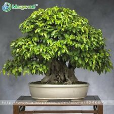 Tree QUALITY Seeds 50PCS/bag Korean hornbeam QUALITY Seeds mini bonsai tree QUAL