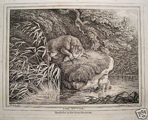 Otterjagd Otter Fish Hunting Hunter Real Old Copperplate 1799