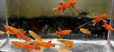 2 breeding pair orange australe killifish