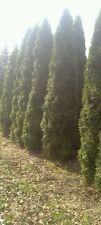 thuja smaragd, 200cm / 250cm / 300cm / 400cm , lebensbaum, anlieferung, HH,hecke