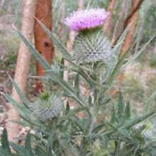 Herb Seeds - Cotton Thistle - 25 Seeds