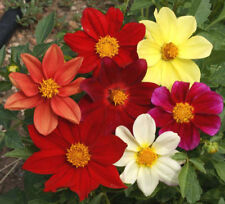 60 Dahlia variabilis Seeds 'Dwarf Single Flower Mix + Gift - Comb S/H