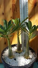 ADENIUM OBESUM RARE CAUDEX  DESERT ROSE EXOTIC BONSAI 3 plants lot TRIO !!!