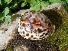 Ancien coquillage moucheté brun CYPRAEA TIGRIS