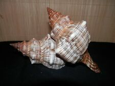 2 x LARGE fox shell. Trapezium conch. Horse conch. Beach home coastal decor