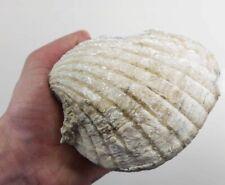 Rare Fossilised & Mineralised Pecten Clam Shell 120mm - 246 grams