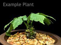 20 Seeds Dorstenia contrajerva, Dorstenia, Moraceae, bulb ,succulent, Caudex