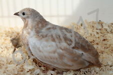 60 Chinese painted quail Hatching eggs 100% new American bloodline