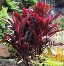 RUBRA CORDYLINE fruticosa dark-ruby foliage tropical plant in 125mm pot