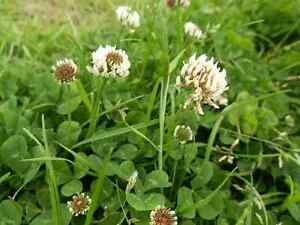 Green Manure Seeds - White Clover - 10gms (approx 15,000 seeds)