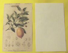 Ancienne Art Prit Planche Poster Image Affiche Botanique p18 Aurantiacées Citron