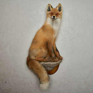 SIBERIAN RED FOX TAXIDERMY MOUNT - MOUNTED, STUFFED ANIMALS FOR SALE - ST6848