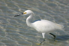 STUNNING SNOWY EGRET WADING IN OCEAN FINE ART GREETING CARD