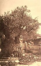 Vintage Postcard: 2000 year old tree Gethsemany, Jerusalem, Israel ca. 20s