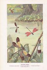 Libellen Odonata Brasilianische Libelle Farbdruck von 1915