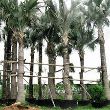 Bonsai Seeds Palm Cycas Mini Tree Sago Rare Budding Rate Room Plants Home Garden