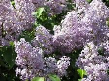 LILAC BUSH OLD FASHION PURPLE 2 TO 3 YEARS OLD 24 TO 36 INCHES
