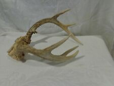 Whitetail deer antlers taxidermy New England