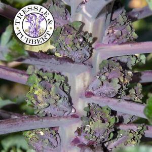 Rare Kalettes Flower Sprout 15 seeds UK SELLER