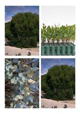 10 Platypus Gum Trees Tubestock Native Plants