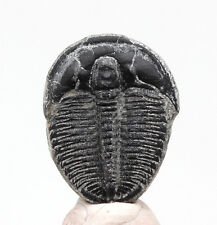 Trilobite Elrathia Fossil Mineral Sea Life Wheeler Shale Specimen w/ Id Card