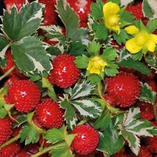 Indian Strawberry 50 seeds Potentilla indicai Exotic * Rare *  CombSH I61