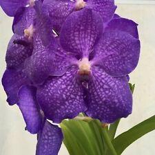 "Vanda mauvadee x rothchildiana Seedling Orchid Plant for 2"" Basket"