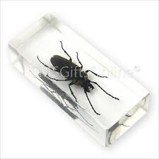 Clear Acrylic Amber Insect Mulberry Longhorn Beetle Paperweight