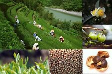 2016 Autumn new crop 30pcs Chinese Green Tea Tree CAMELLIA SINENSIS SEEDS