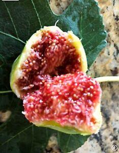 "fig tree cuttings ""Dwarf Gold"" Earliest Of All"