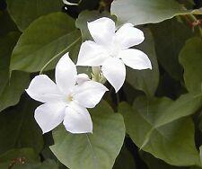 SEEDS 6 graines JASMIN DU CHILI (Dipladenia suaveolens) HARDY CHILEAN JASMINE