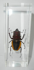 Female Golden Stag Beetle in 110x43x30 mm clear Block Education Insect Specimen