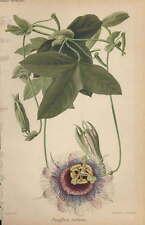 Piante - cromolitografia originale francese fine '800 - Passiflora violacea