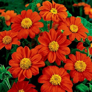 Red Torch Tithonia Rotundifolia Mexican Sunflower 50-Seeds~Flower of the Aztecs!