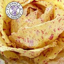 Rare Chicory, Variegata di Castelfranco  - approx 50 seeds - UK SELLER