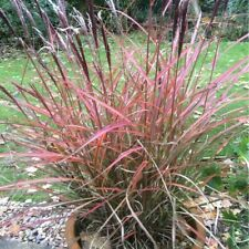 Miscanthus red cheif ornamental grass 3 x 9cm pots