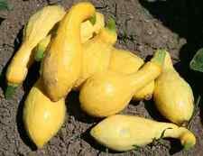 25 Yellow Crookneck Summer Squash 2018 (all non-gmo heirloom vegetable seeds!)