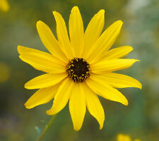 Swamp Sunflower Helianthus angustifolius 20 Seeds  (Free Shipping)