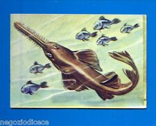ANIMALI - Lampo 1964 - Figurina-Sticker n. 293 - PESCE SEGA -New