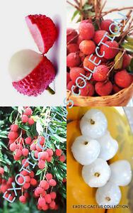Lychee fruit, sweet Litchi Chinensis tropical exotic EDIBLE fruits seed 5 SEEDS