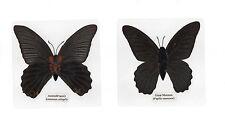 Laminated Butterfly Great Mormon Papilio memnon Specimen in 11x11 cm Sheet
