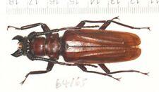 CERAMBYCIDAE CERAMBYCINAE Prionidae Prioninae from WEST YUNNAN  (1)