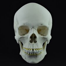 HUMAN SKULL REPLICA ( REAL SIZE )