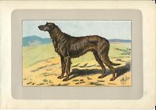 Stampa antica CANE LEVRIERO IRLANDESE GREYHOUND 1907 Old antique print dogs