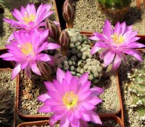 Mammillaria theresae,seeds10 pcs