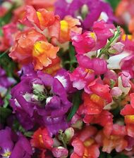 Snapdragon Snappy Bicolor Mix Seed Dwarf Form Vibrant Colours Long Flowering