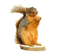 Standing Squirrel Walnut Professional Taxidermy Animal Statue Home Office Gift