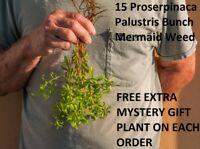 15 Proserpinaca Palustris Bunch Mermaid Weed  Live Aquarium Plants planted tank