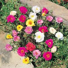 60 graines POURPIER A FLEURS DOUBLES (Portulaca Grandiflora)G724 MOSS ROSE SEEDS